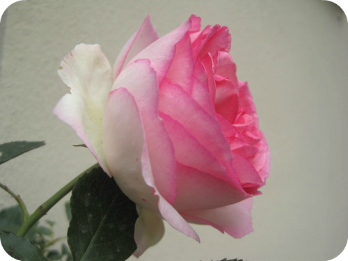 E 39 arrivata l 39 estate con un carico di rose il sito di for Pierre de ronsard rosa