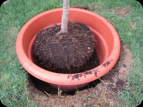 Come piantare un acero giapponese in giardino il sito for Acero giapponese in vaso