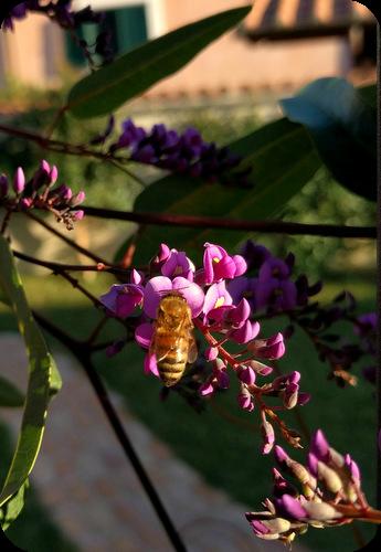 ape su fiore di hardenbergia