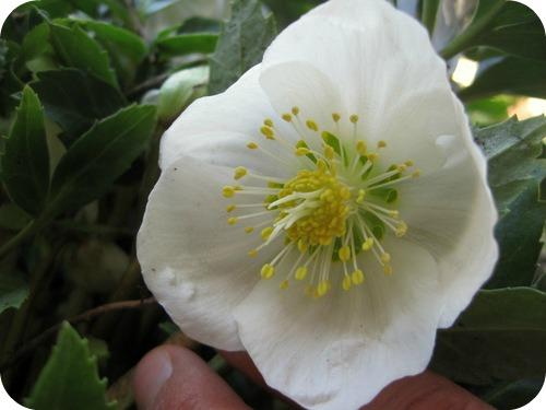 Primissimi fiori di fine inverno il sito di roberta for Elleboro bianco