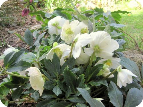 Primi fiori di marzo il sito di roberta cucito for Elleboro bianco