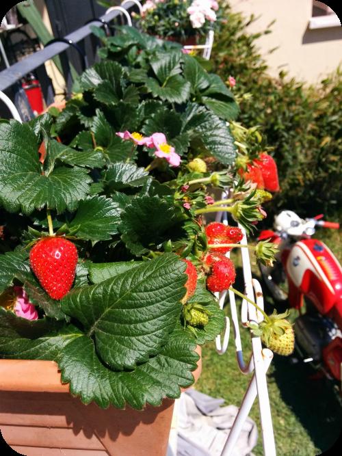 Primavera nel giardino di roberta il sito di roberta for Vasi per fragole