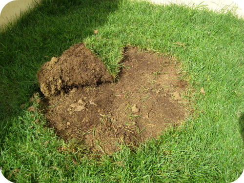 Come piantare un acero giapponese in giardino il sito - Il sole nel giardino ...