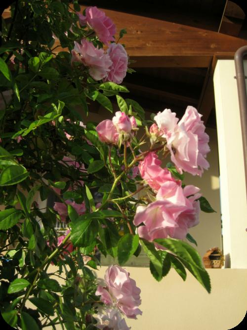 rosa Banksiae rosae
