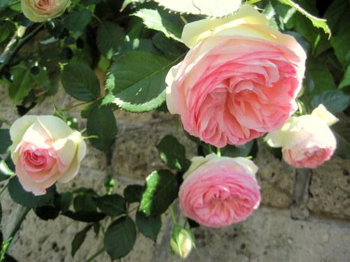 Tanti fiori di maggio rose inglesi e pierre de ronsard for Pierre de ronsard rosa